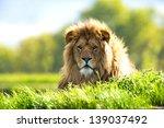 Backlit Lion Laid In Vibrant...