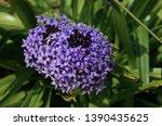 Purple Blue Peruvian Lily Take...