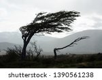 Trees Bent By The Wind On The...