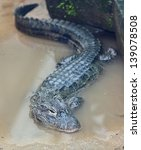 Crocodile Chinese Alligator
