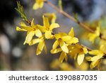 Yellow Blooming Forsythia...