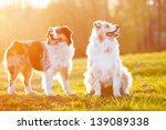 Two Australian Shepherd Dogs I...
