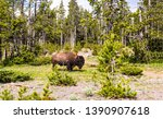 Bison in forest landscape view. ...