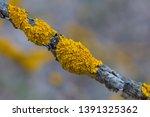 Xanthoria Parietina   Common...