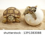 Stock photo africa spurred tortoise are born naturally tortoise hatching from egg cute portrait of baby 1391383088