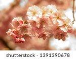 cherry flowers blossom in bloom.... | Shutterstock . vector #1391390678