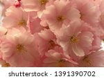 cherry flowers blossom in bloom.... | Shutterstock . vector #1391390702