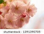cherry flowers blossom in bloom.... | Shutterstock . vector #1391390705