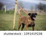 brown dog belgian malinois is...   Shutterstock . vector #1391419238
