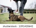 brown dog belgian malinois in...   Shutterstock . vector #1391420642