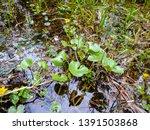yellow flowers in the swamp.... | Shutterstock . vector #1391503868
