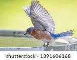 Female Eastern Bluebird With...
