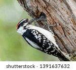 A Male Downy Woodpecker Feeds ...