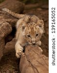 lion cub crawling along a log | Shutterstock . vector #139165052