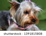 Stock photo puppy of the yorkshire terrier the dog is lying on a green sofa a large puppy portrait vertical 1391815808