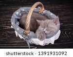 Stock photo scottish straight kitten gray kitten on photo studio the cat sleeps in the basket cat in a 1391931092