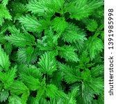 macro photo of a plant nettle.... | Shutterstock . vector #1391985998