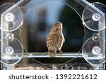 One Female House Finch Bird...