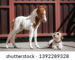 Little Newborn Piebald Horse...