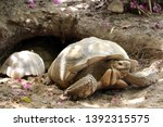 Stock photo african spurred tortoise at burrow entrance big geochelone sulcata in hollow the african spurred 1392315575