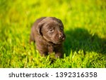Stock photo labrador puppy beautiful little dogs running around the green grass young dogs of breed labladoor 1392316358