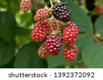Rubus Fruticosus Garden...