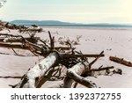 felled trees  windbreak  wood... | Shutterstock . vector #1392372755