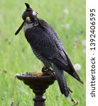 Portrait Of Falcon With A...