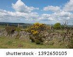 Spring Flowering Gorse  Ulex...