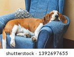 Sleeping Basset Hound White And ...