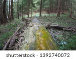 Small photo of Old log left to rott in the woods after the tree fell down. The log have green moss and algae on it and is infected with Hylastes ater, which is a genus of crenulate bark beetles.