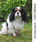 Small photo of Cavalier King Charles spaniel dog