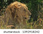 male lion close up side view... | Shutterstock . vector #1392918242