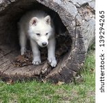 Young Arctic Wolf Pup Seeks...