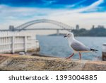 Bird walking on the ledge with a faded Sydney Harbour bridge at the background