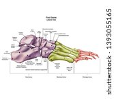 bones of the human foot with... | Shutterstock .eps vector #1393055165