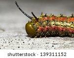 Small photo of Pink-striped Oak Worm Moth Caterpillar (Anisota virginiensis)