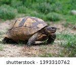 Stock photo spur thighed tortoise or greek tortoise testudo graeca bulgaria april 1393310762