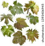 Grape Leaves Different Shapes Variants - Fine Art prints