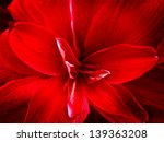 red lily flower. abstract...