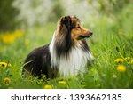 Sheltie Dog In A Spring Flower...