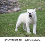 Arctic Wolf Pup Practices His...