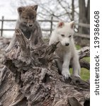 Gray Wolf Or Timber Wolf  And...