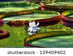 Giant  Amazonian Lily In Water...