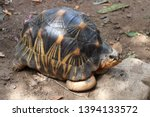 Stock photo portrait of radiated tortoise the radiated tortoise eating flower tortoise sunbathe on ground with 1394133572