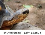 Stock photo portrait of radiated tortoise the radiated tortoise eating flower tortoise sunbathe on ground with 1394133575