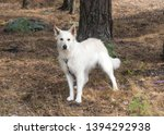 White Swiss Shepherd Dog. Berger Blanc Dog breed Suisse White german shepherd. White german shepherd in the summer wood forest.