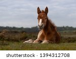 New Forest Pony Foal Relaxing