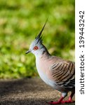 the crested pigeon with its... | Shutterstock . vector #139443242