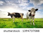 Sunshine Over Cows On Green...